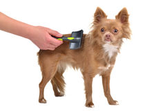 Chihuahua puppy is combed with a brush Royalty Free Stock Photo