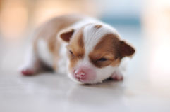 Chihuahua puppy. Crawl on the floor Royalty Free Stock Photo