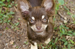 Chihuahua Puppy Royalty Free Stock Photo