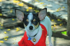 Chihuahua puppy cute. stock image