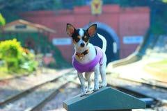 Chihuahua puppy cute. Stock Photos
