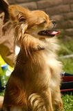 Chihuahua puppy dog. Brown female chihuahua dog puppy long haired at dog show Stock Images