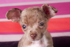Chihuahua puppy dog. Nine weeks old chihuahua puppy with colored background Royalty Free Stock Images