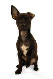 Chihuahua puppy dog stock photo