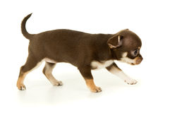 Chihuahua puppy dog stands Royalty Free Stock Images