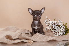 Chihuahua puppy. Dog on a studio background Stock Photography