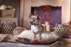 Chihuahua puppy. Dog on a studio background Stock Photo