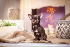 Chihuahua puppy. Dog on a studio background Stock Images