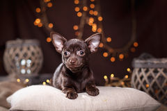 Chihuahua puppy. Dog on a studio background Royalty Free Stock Image