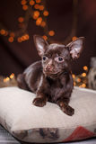 Chihuahua puppy. Dog on a studio background Stock Image