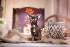 Chihuahua puppy Royalty Free Stock Photos