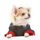 Chihuahua puppy dressed in bright jumpsuit Royalty Free Stock Photography