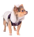 Chihuahua puppy dressed in coat for cold weather Royalty Free Stock Photo