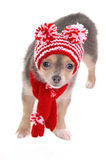 Chihuahua puppy dressed for cold winter walk Royalty Free Stock Image