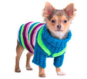 Chihuahua puppy dressed with colorful sweater Stock Photo