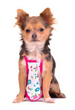 Chihuahua puppy dressed with cooking apron Royalty Free Stock Images