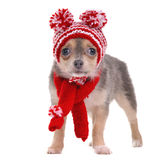 Chihuahua puppy dressed in funny hat and scarf Stock Images