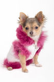 Chihuahua puppy dressed with furry jacket Royalty Free Stock Photography