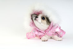 Chihuahua Puppy Dressed  In A Pink Jacket