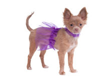 Chihuahua puppy dressed like ballerina Royalty Free Stock Image
