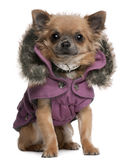 Chihuahua puppy dressed in purple hooded coat Stock Photo