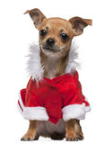 Chihuahua puppy dressed in Santa outfit Royalty Free Stock Photos