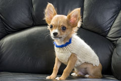 Chihuahua puppy dressed in a white jumper. On the black leather sofa Stock Photo