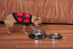 Chihuahua Puppy Dressed With Pullover Standing On Floor Stock Image