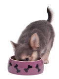 Chihuahua puppy eating Stock Image