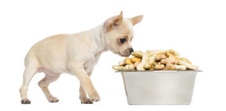 Chihuahua puppy eating from a big bowl full of biscuits Royalty Free Stock Image