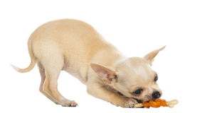 Chihuahua puppy eating a bone, bottom up Stock Photos