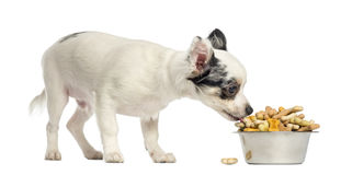 Chihuahua puppy eating dog biscuits from a bowl Stock Image