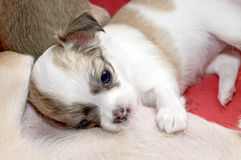 Chihuahua puppy eating mother's milk Royalty Free Stock Images