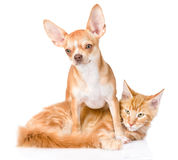 Chihuahua puppy embracing ginger maine coon cat. isolated on whi Stock Photo