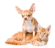 Chihuahua puppy embracing ginger maine coon cat. isolated on white Stock Photography
