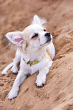 Chihuahua puppy enjoying from sunbathing Stock Image