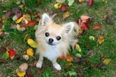 Chihuahua with puppy eyes Royalty Free Stock Photos