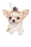 Chihuahua puppy in a fashionable hat Stock Photography