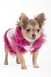 Chihuahua puppy with fluffy jacket Royalty Free Stock Photos