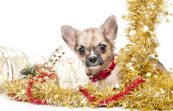 Chihuahua puppy in a frame of golden tinsel Royalty Free Stock Photography