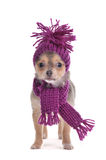 Chihuahua puppy funnily Dressed for Cold Weather. Three months old Chihuahua puppy funnily Dressed for Cold Weather isolated on white background Royalty Free Stock Images