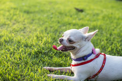 Chihuahua puppy. At the garden royalty free stock photos