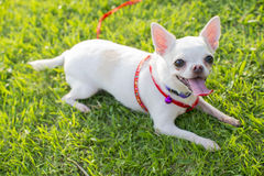 Chihuahua puppy. At the garden Royalty Free Stock Photo