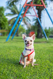 Chihuahua puppy. At the garden stock images