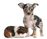 Chihuahua puppy with a guinea pig. In front of white background Stock Image