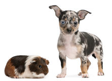 Chihuahua puppy with a guinea pig. In front of white background Royalty Free Stock Photo