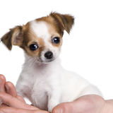 Chihuahua puppy in a hand (3 moths). Chihuahua puppy in a hand (3 months) in front of a white background Stock Images