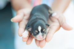 Chihuahua puppy sleep on hand Royalty Free Stock Photos