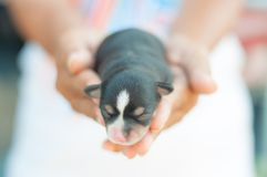 Chihuahua puppy sleep on hand. Chihuahua puppy on hand and blur background Stock Photo