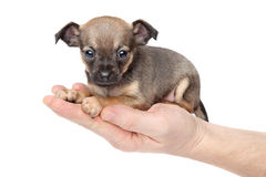 Chihuahua puppy in hand Royalty Free Stock Image